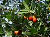 Strawberry tree (Arbutus unedo), Hameau de Pebrieres (Niall Corbet) Tags: strawberrytree arbutusunedo france languedoc aude autumn