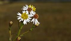 Tripolium pannonicum, l'aster maritime. (chug14) Tags: plantae plante flower fleur asteraceae composées unlimitedphotos asterdehongrie astermaritime astertripolium astermacrolophus tripoliumpannonicum