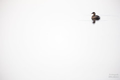 Zwergtaucher (Tierfotografie Niklas Mattern) Tags: wildlife canon eos 1dx ef 400l28isii zwergtaucher little grebe