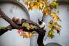 Siamesi (Ravello NA) (Ondablv) Tags: siamesi ravello occhi azzurri curiosi le chat micio cat felino gatto gatta gattona gattone micione miciona miao cats portrait ondablv gatti mici felini occhio eyes sguardo