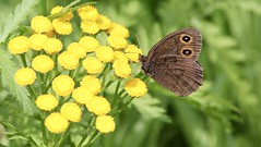 Common Wood Nymph (male) (heureux27) Tags: railroadtracks tansy butterflies