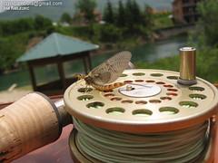 Mayfly (crnabambula) Tags: mayfly ephemera danica flyfishing entomology