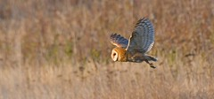 Barn Owl - Hunting at Sundown (kenyoung3) Tags: tytoalba owl barnowl bif birdsinflight deltabc