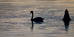 UPS & DOWNS (ddt_uul) Tags: swan muteswan whitmorelake lake water michigan feather primp fall golden gold nature black couple