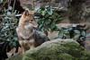 Golden jackal (Canis aureus) (JirikD) Tags: 2017 nikond7200 zvířata animals burgerszoo canis jackal mammals predator savci šakal šelmy arnhem holandsko