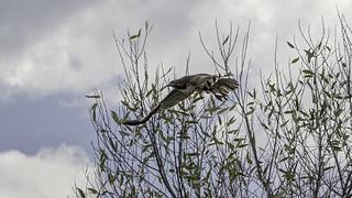 Hawk in Flight #89