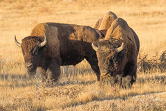 Bison bulls keeping watch on each other