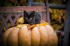 Black Cat Pumpkin (Angelo Petrozza) Tags: black cat pumpkin zucca autumn gattino gatto autunno fall foglie giallo panchina angelopetrozza pentaxk70 55300f458