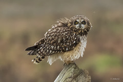 Short-eared Owl / Hibou des Marais (shimmer5641) Tags: asioflammeus shortearedowl hiboudesmarais owlsfamily raptor birdofprey birdsofbritishcolumbia birdsofnorthamerica