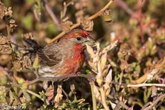 Camachuelo Mexicano, House Finch (Haemorhous mexicanus) (Corriplaya) Tags: aves california camachuelomexicano housefinch haemorhousmexicanus corriplaya birds