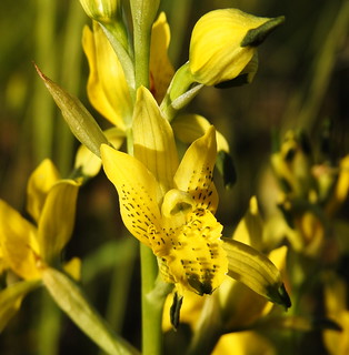 Chlorea galeata