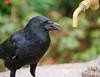 Thirsty (Matt C68) Tags: carrion crow corvus corone corvidae bird water fountain regents park london drink feathers black