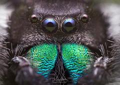 Encuentro cercano con Phidippus regius (Almodovar Photography) Tags: phidippusregius arachnid aracnido puertorico arthropod artropodo monster