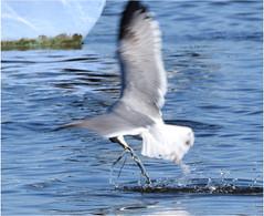 poissonvers (kevin.mphoto) Tags: nature bird water prey worm outdoor nikon animal boat tamron nofilter