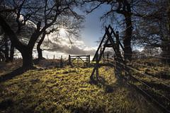 Lochwood Oaks (TrotterFechan) Tags: lochwood trees oak oaks ancient woodland