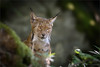 magic eyes (klaus.huppertz) Tags: neuschönau cat beastofprey lynx erasianlynx luchs katze groskatze nikon natur nature nikond750 d750 nikkor 300mm tier animal mammalian säugetier altschönau lynxlynx raubkatze bavarianforest bayerischerwald outdoor portrait animalportrait nationalparkbayerischerwald nationalpark tele telephoto gehege freigehege wildpark wildgehege enclosure outdoorenclosure wildlifepark animalrefuge nikkor300mm28 nikonafsvrnikkor300mmf28gifed 300mmf28gvrii eye auge coth5