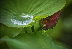 water on lotus (gnarlydog) Tags: adaptedlens australia leaves waterdroplets detail abstract lotus manualfocus selectivefocus reflection bokeh vintagelens green kodakcineektanon102mmf27 nature