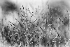 in the long grass (Francis Mansell) Tags: grass seedhead kew dof monochrome bokeh depthoffield blackwhite kewgardens royalbotanicgardenskew grassbeds macro