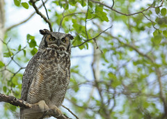 Great Horned Owl...#21 (Guy Lichter Photography - 3.7M views Thank you) Tags: canon 5d3 canada manitoba winnipeg wildlife animal animals birds owl owls greathornedowl