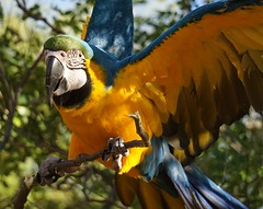 Honey 58 (ChrisF Photography) Tags: macaw blue gold parrot exotic tree outdoors beautiful adorable animal bird leaves green nature