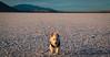 Action doggo (joshhansenmillenium) Tags: bonneville salt flats wendover utah nevada mountains clouds sunset sunsets nerd westie west highland white terrior dogs puppy doggo pupper adventure