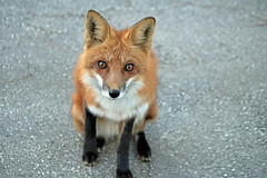 Communication (marylee.agnew) Tags: red fox eyes vulpes canine close language communication wildlife nature urban encounter outdoor