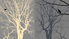 bird conversation (marianna_a.) Tags: trees birds song diptych two psd photoshop composite overlay mariannaarmata