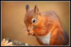 IMG_0180 Red Squirrel (Scotchjohnnie) Tags: redsquirrel sciurusvulgaris squirrel squirrelphotography rodent mammal wildanimal wildlife wildlifephotography nature naturephotography naturewildlifeandbirds canon canoneos canon6d canonef100400f4556lisiiusm scotchjohnnie closeup portrait