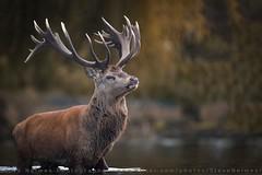 Red Deer (Steve Nelmes Photography) Tags: 3leggedthingfrank autumn bushypark cameragear canon canon1dxmark2 canon300mm28lmkii deer london mammal nature october reddeer ruttingseason season stag stevenelmesphotography stevenelmesphotography300mm wildanimal wildlife animal