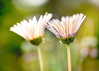 Daisies (mclcbooks) Tags: flower floral macro closeup daisy daisies denverbotanicgardens colorado focusstacking zerenestacker