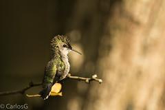 Zumbadorcito / Vervain Hummingbird (Mellisuga minima) (Gogolac) Tags: 2017 aves birdphotography birdie birds canon7dmii fauna hummingbird jardinbotanico location park trochilidae year birdspot birdingrd birdsspotters colibries fotografiasrealizadasenel2017 republicadominicana