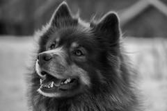 Finnish lapphund (steffos1986) Tags: dog animal bokeh pet tamron60mmmacro closeup portrait blackandwhite bw nikond5500