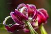 "exquisite shapes (mariola aga) Tags: chicagobotanicgarden glencoe summer garden flowers lilies petals exquisite shapes closeup dof bokeh coth alittlebeauty coth5 ""doublefantasy"""
