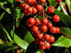 Red is the Color! (clarkcg photography) Tags: red berry redberry nandina saturated saturatedsaturday color reddish