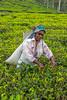 Tea Leaf Picker, Blue Field Tea Plantation, Sri Lanka (bfryxell) Tags: bluefieldteafactory bluefieldteaplantation nuwaraeliya srilanka tealeafpicker teaplant teaplantation