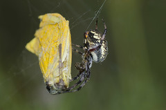 Spotted Orb Weaver, Neoscona sp., with sulphur butterfly prey (Bryan E. Reynolds) Tags: falconstatepark neosconasp spottedorbweaver starrcounty sulphur texas captured feeding orbweaver orbweb prey silk web wrapped