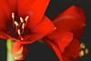 Amaryllis (izoll) Tags: roteamaryllis amaryllis idol rot sony alpha77ii makro macro nahaufnahme zwiebelpflanze zimmerpflanzen roteblüte blüte amaryllisblüte