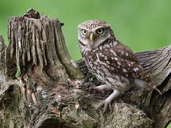 Little Owl (robin denton) Tags: nature wildlife yorkshire uk britishcountryside cowl littleowl bird athenenoctua owlet pair birds birdphotography wildlifephotography fauna ngc npc