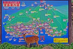 Deer checking out tourist map, Miyajima, Hiroshima 宮島 広島 (Anaguma) Tags: japan chugoku hiroshima miyajima itsukushima map deer