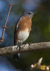 Eastern Bluebird, male (AllHarts) Tags: maleeasternbluebird backyardbirds memphistn naturescarousel