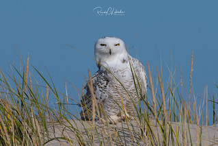 Snowy Owls of New Jersey | 2017 - 4