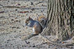 squirrel (avflinsch) Tags: ifttt 500px autumn tree sand gray wildlife squirrel eating tan rodent