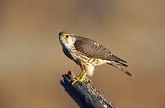 Merlin (f) (Thy Photography) Tags: nature california merlin falcon birdofprey bird animal wildlife raptor prey photography backyard outdoor
