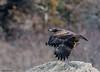 Juvenile Bald Eagle (b88harris) Tags: juvenile bald eagle susquehanna river kayak kayaking hiking exposure brown yellow black bird raptor prey talons beak eye flight wildlife white