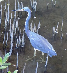 South Padre Island Birding And Nature Center, Texas, Tri-Colored Heron (photolibrarian) Tags: southpadreislandbirdingandnaturecenter texas tricoloredheron
