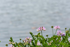 Pink Flowers at Foundation Park (thatSandygirl) Tags: september latesummer summer flowers floral wildflowers blossom bloom outdoors nature flora foundationpark mountvernon ohio pink lake water pond grey