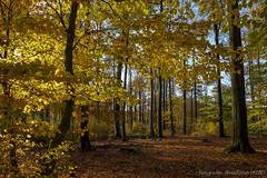 Herbst in der Ahauser Bröke (annareinert) Tags: wald baum bäume baeume buche buchen fagus buchenwald jahreszeit jahreszeiten herbst herbstlich verfärbung verfaerbung herbstfärbung herbstfaerbung bunt farbenfroh sonnenlicht natur botanik münsterland muensterland nordrheinwestfalen deutschland
