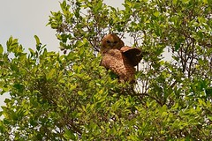 the elusive Pel's Fishing Owl during the day.... (cirdantravels (Fons Buts)) Tags: uil visuil fishingowl owl chouette fischeule eule scotopelia strigidae strigiformes kafue kaingusafarilodge coth5