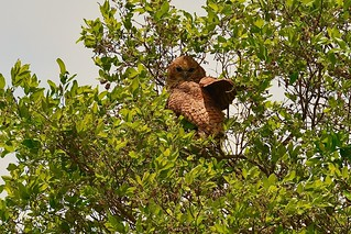 the elusive Pel's Fishing Owl during the day....