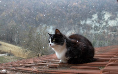 It's Coming, Guys ❄ (Xena*best friend*) Tags: zivadavid zd theweathergirl snowfall snow catsontheroof cold cats whiskers feline katzen gatto gato chats furry fur pussycat feral tiger pets kittens kitty piedmontitaly piemonte canoneos760d italy wood woods wildanimals wild paws animals calico markings ©allrightsreserved purr digitalrebelt6s efs18135mm flickr outdoor animal pet winter